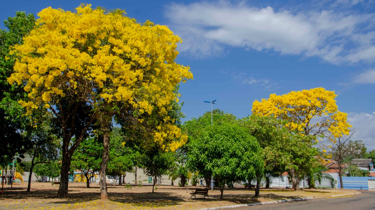 Ipês Floridos em Palmas